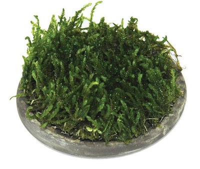ISTA Plant/Moss Cultivation Plate  Round 5cm