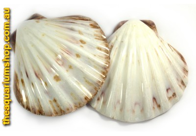 Polished Sea Shell Lions Paw Half White