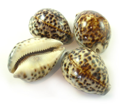 Sea Shell Cowries Tiger Small