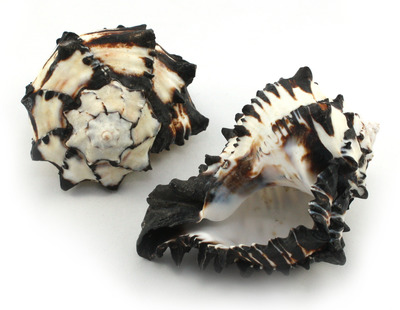 Sea Shell Murex Black Nigritus Large