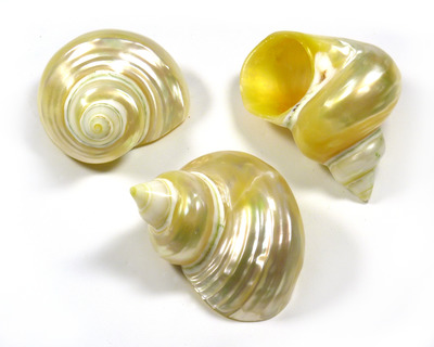 Polished Sea Shell Turbo Goldmouth Medium