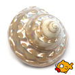 Polished Sea Shell Trochus Astrea Pearl Small