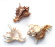 Sea Shell Murex Ramosus Small